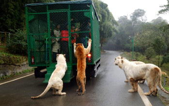 Hiina loomapargis vahetati rollid – inimesed puuris ja loomad vabalt jalutamas! VIDEO ja FOTO!