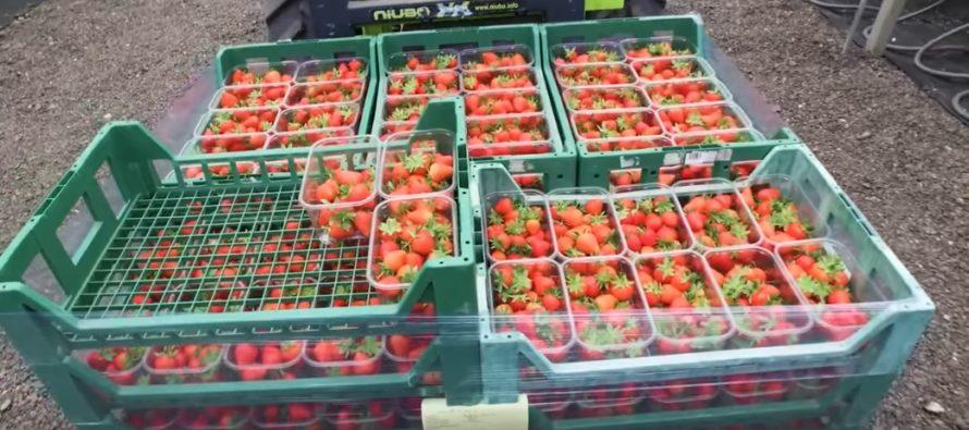 10 PÕNEVAT fakti armastatud maasikate kohta millest sa tõenäoliselt midagi ei teadnud