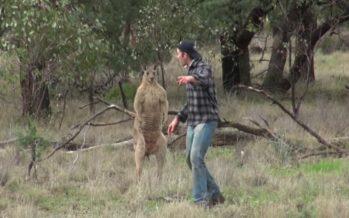 Mees päästab oma koera känguru käest, ent SIIS TEEB midagi koletut